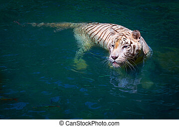 White tiger - Big white tiger swims in blue water