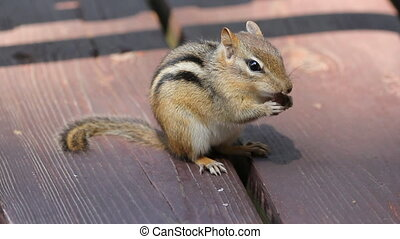 Chipmunk eats. - Chipmunk eats a bean. Side view.