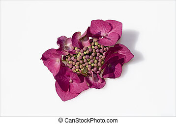 Pink hydrangeas on a white background - isolated from...