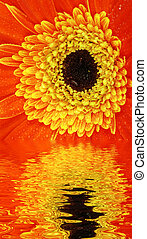 Flower reflection - Red gerbera flower is reflecting in the...