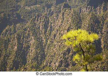 Pine tree and mountain. La Palma. Spain