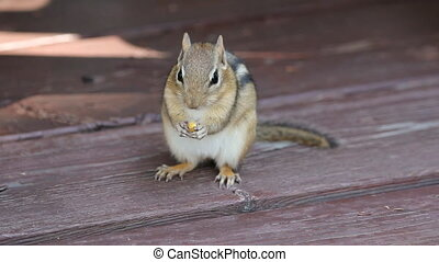 Chipmunk eats corn niblet. - Chipmunk facing the camera eats...