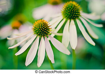 echinacea - beautiful echinacea flower in the garden