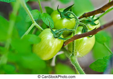 tomato growth on the branch