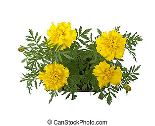 Marigold flowers - marigold (tagetes) flowers in pot, above...