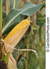 ear of corn - close on ripe ear of corn in a field
