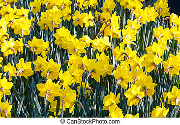 Yellow narcissus (close-up) - Beautiful yellow daffodils in...