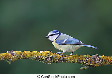 Blue Tit (Parus caeruleus) sitting on a branch in the...