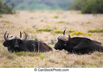 Cape Buffalo Syncerus caffer - Group of Male Cape Buffalo...