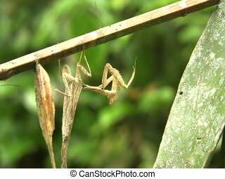 Dead leaf mantis Acanthops falcatoria - In the Ecuadorian...