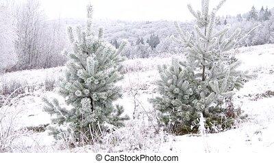 Frozen coniferous trees and frozen landscape in early winter...