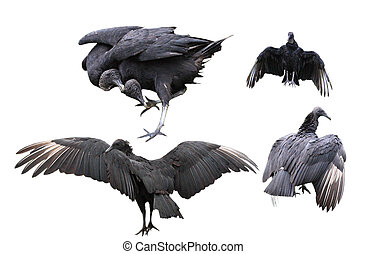 Black Vultures Set