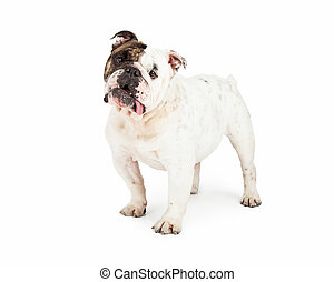 Adorable English Bulldog Standing