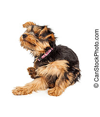 Teacup Yorkie dog sitting and scratching and itch