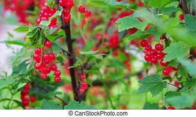 Redcurrant (Red Currant, Ribes rubrum) berries closeup -...