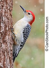 Woodpecker on a tree trunk - Male Red-bellied Woodpecker...