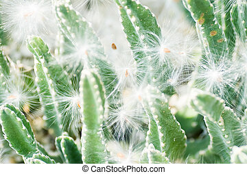 Stapelia grandiflora, Asclepiadaceae, South Africa (Cape),...