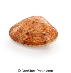 akegai, japanese shellfish isolated on white background