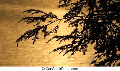 Cedar with golden sunset water. - Branches of a cedar tree...