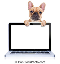 computer dog - fawn french bulldog dog behind a laptop pc...