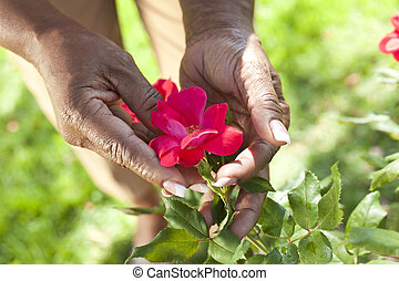 Senior African American Woman Hands Holding Rose Flower -...