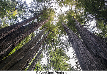 Sequoia National Park, California - Huge trees in Sequoia...