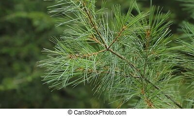 Pine needles in summer Closeup - Closeup of pine tree branch...
