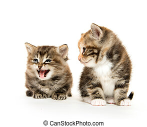 Two cute kittens - Two cute baby kittens on white background