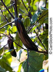 Eggplant on tree