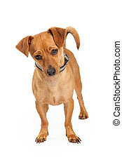 Chihuahua Cross Dog Standing Looking Down - A cute little...