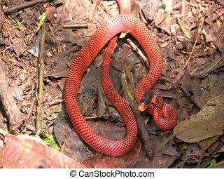 Yellow-headed calico snake Oxyrhopus formosus - A false...