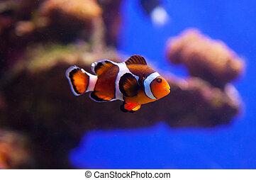 Clown fish in aquarium water - Image of clown fish in...