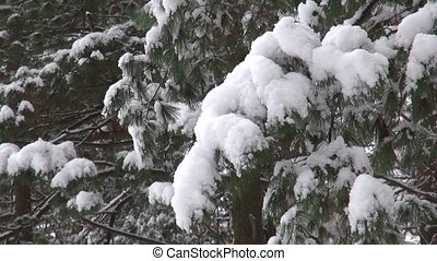Snow covered tree branch Christmas or natural background...