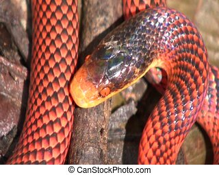 Yellow-headed calico snake (Oxyrhopus formosus) - A false...
