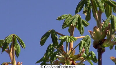 conker leaves and bird songs - fresh spring time conker...