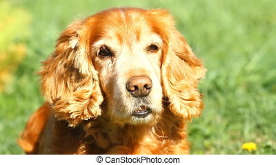 Slow motionCocker Spaniel yawns - Slow motion English Cocker...