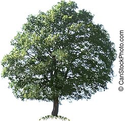 Oak Tree Vector Illustration Cutout