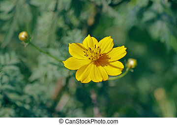 Orange cosmos flower - Cosmos is a genus, with the same...