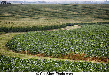 Cornfields - Fields of corn in Iowa
