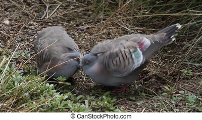 crested pigeons - Two cute cuddling crested pigeon seems...