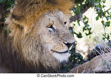 Big male lion rests under tree in Africa - Large lion laying...
