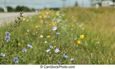 Wildflowers by side of the road Cars go by Shallow depth of...