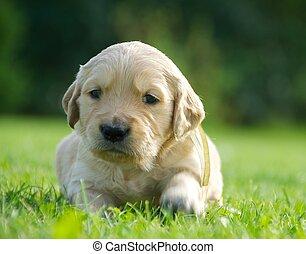 small gold labrador retriever - little gold labrador...