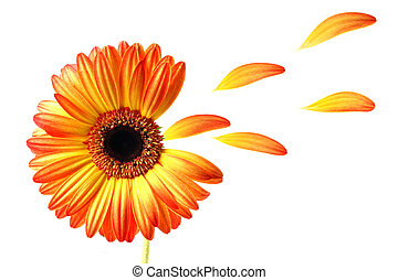 Flying gerber daisy - Lovely colored gerber daisy with...