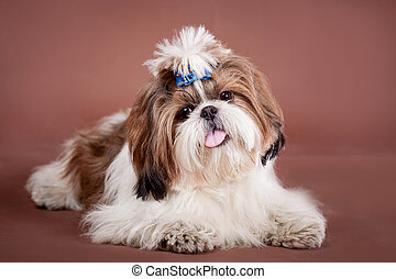 Shih Tzu dog on a brown background - Funny Shih Tzu dog in...