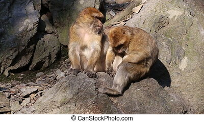 Barbary macaque looking for parasites in coat