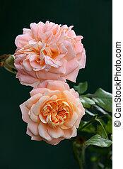 Orange English Roses
