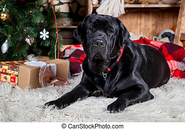 Big black labrador, holidays, christmas, new year - Beauty...