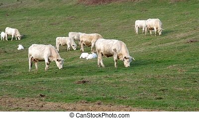 Herd of white cows