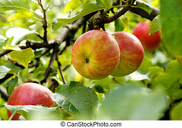 Branch of an apple tree with fruit